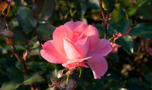 Rosa 'Meizebul' Sw 10-5-12 4623 lo-res