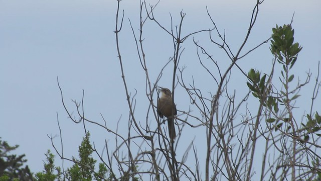MVI_0795 california thrasher lake los carneros singing