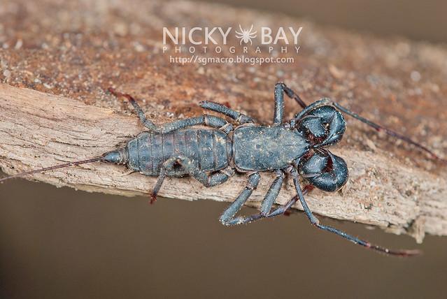 Whip Scorpion (Thelyphonida) - DSC_3086