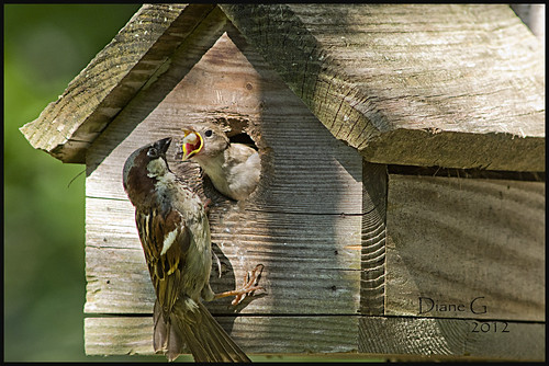 Father Sparrow feeding young.