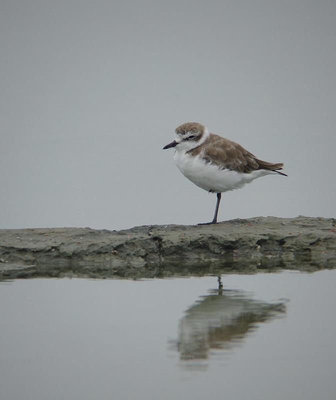 常見的可愛冬候鳥--小環頸鴴