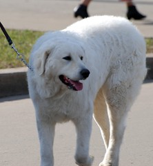 dog breed, animal, kuvasz, polish tatra sheepdog, dog, pet, maremma sheepdog, mammal, slovak cuvac, great pyrenees,