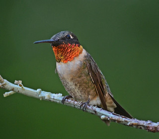 R T Hummingbird, Male