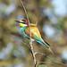 European Bee-eater (Pauline Blewitt)