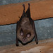 Greater Horseshoe Bat (Jon Stokes)
