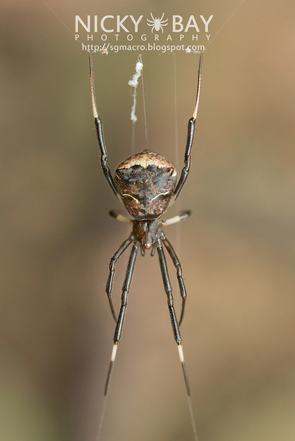 Comb-Footed Spider (Theridiidae) - DSC_4832