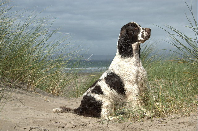 Dog in the Dunes