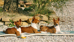 dog sports(0.0), animal sports(0.0), sighthound(0.0), sports(0.0), animal(1.0), hound(1.0), dog(1.0), pet(1.0), street dog(1.0), mammal(1.0), ibizan hound(1.0), basenji(1.0),