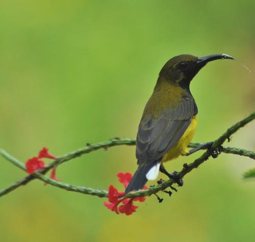 singapore sunbird botanicagarden