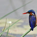 Malachite Kingfisher, Lake Awassa (Tim Melling)