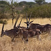 Beisa Oryx (Dani Free)