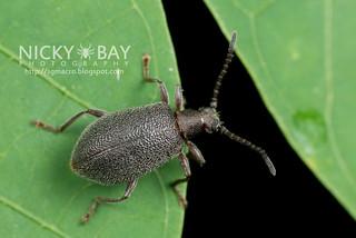 Wooly darkling beetle (Lagriinae) - DSC_1633