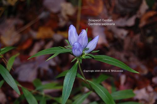 Soapwort Gentian, Harvestbells - Gentiana saponaria