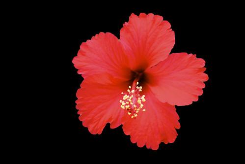 [フリー画像素材] 花・植物, ハイビスカス ID:201210030600