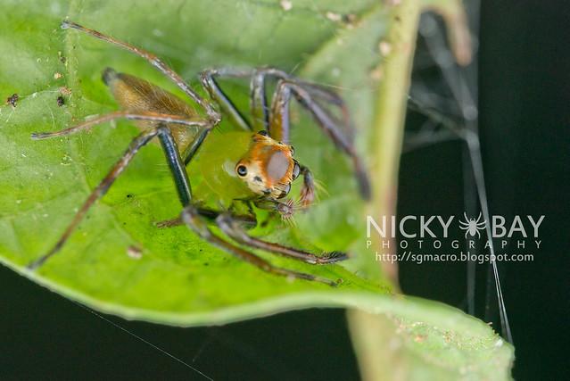 Jumping Spider (Epeus flavobilineatus) - DSC_5774