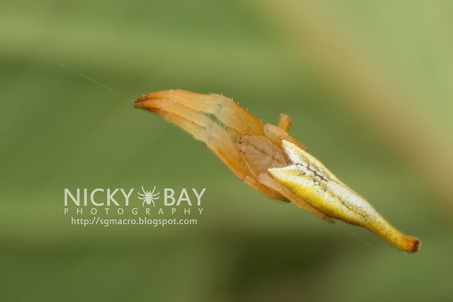 Scorpion-Tailed Spider (Arachnura sp.) - DSC_5735