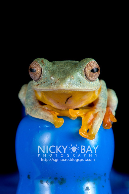 Twin-spotted Flying Frog (Rhacophorus bipunctatus) - DSC_5410