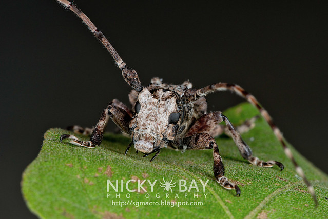 Longhorn Beetle (Cerambycidae) - DSC_5488