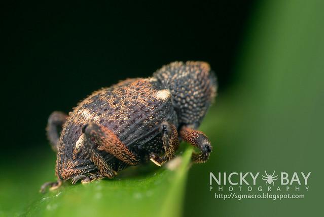 Weevil (Curculionoidae) - DSC_5362