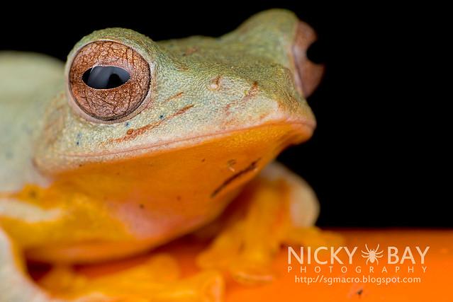 Twin-spotted Flying Frog (Rhacophorus bipunctatus) - DSC_5394