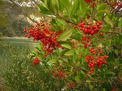 berry(0.0), flower(0.0), strawberry tree(0.0), crataegus pinnatifida(0.0), produce(0.0), food(0.0), schisandra(0.0), evergreen(1.0), shrub(1.0), pistacia lentiscus(1.0), plant(1.0), flora(1.0), fruit(1.0), sorbus(1.0), rowan(1.0), hawthorn(1.0),
