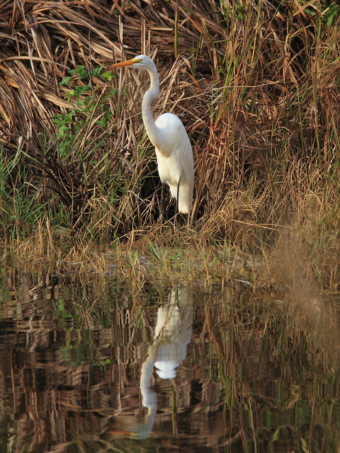 Great Egret 2-20120927
