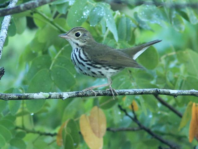 Ovenbird 20120928