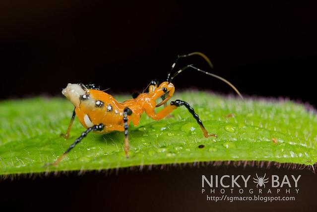 Assassin Bug (Reduviidae) - DSC_9025