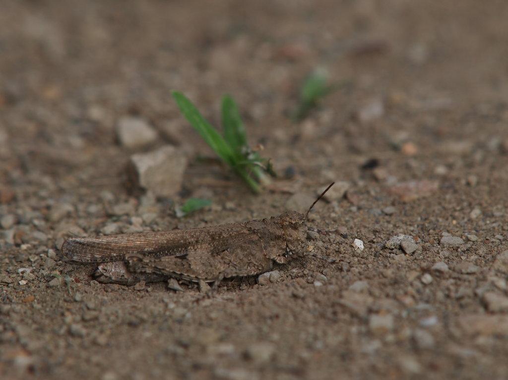 Trilophidia japonica