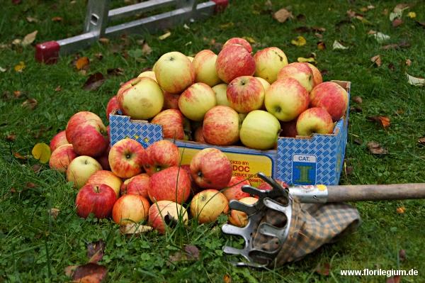 Apfelsorte Jakob Fischer