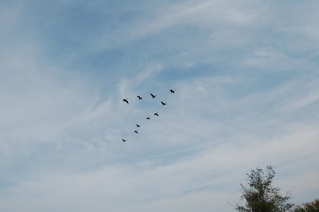Migrating Geese - Walking at Sawhill Ponds - Boulder, CO