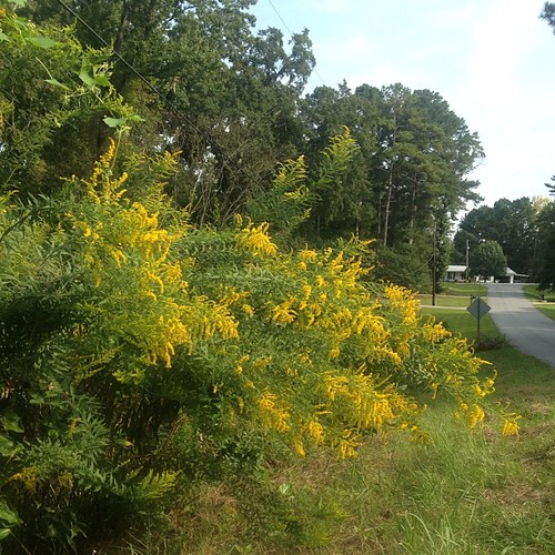 The goldenrod seems to be bowing.