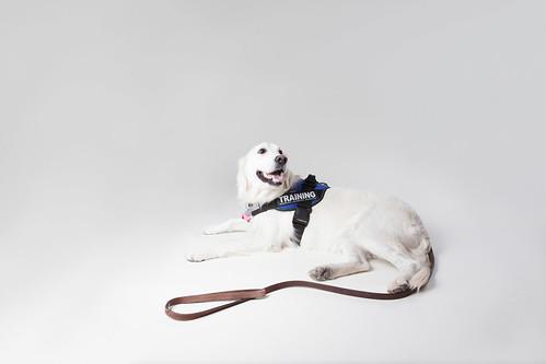 service animal