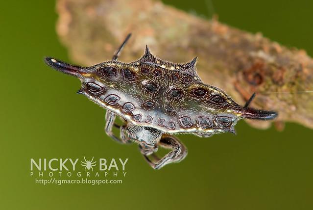 Spiny Back Orb Weaver (Gasteracantha doriae) - DSC_4995