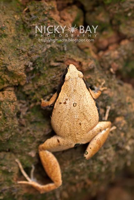 Dark-sided Chorus Frog? (Microhyla heymonsi) - DSC_4876