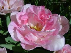 Dutch Tulips, Keukenhof Gardens, Holland - 4000  POTD