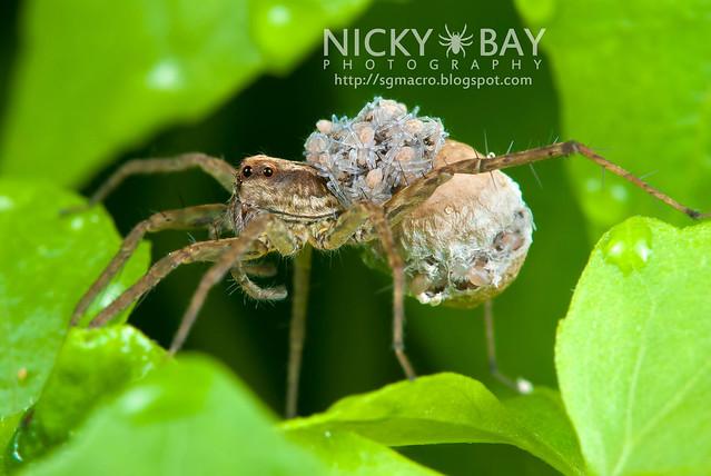 Wolf Spider (Lycosidae) - DSC_3654