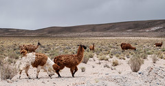 animal, prairie, steppe, llama, herd, fauna, landscape, camel-like mammal, wildlife,