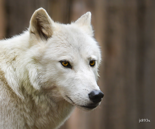 Arctic Wolf 100612ac by jt893x