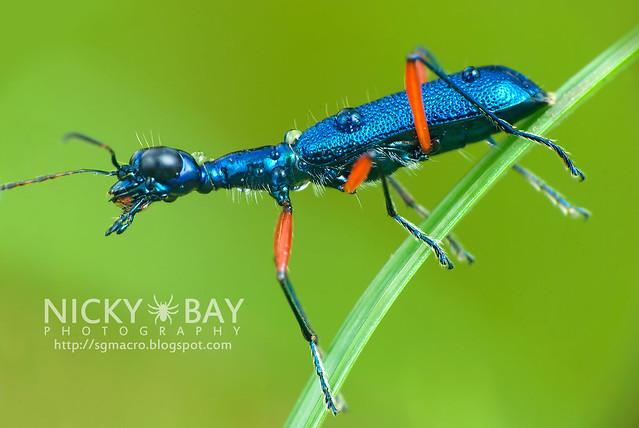 Tiger Beetle (Cicindelinae) - DSC_2392