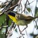 """IMG_9807  Common Yellowthroat """"warbler"""""""