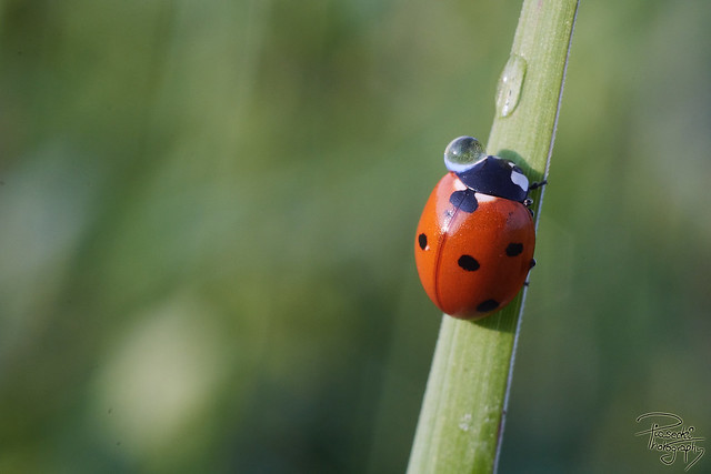 A ladybug with contact lenses