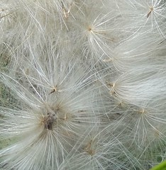 Thistledown was collected for stuffing pillows