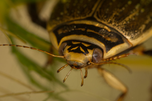 Lesser diving beetle Acilius sulcatus female close up 2