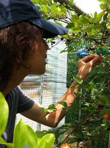 ブルーベリーの収穫の模様
