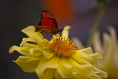 Butterfly (Andean silverspot) over Dahlia