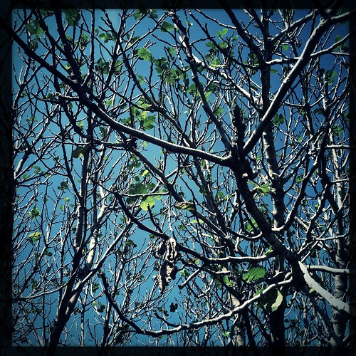 tree fig branches leaves nature sky blue season autumn dominiquejames photography fineart newyork usa