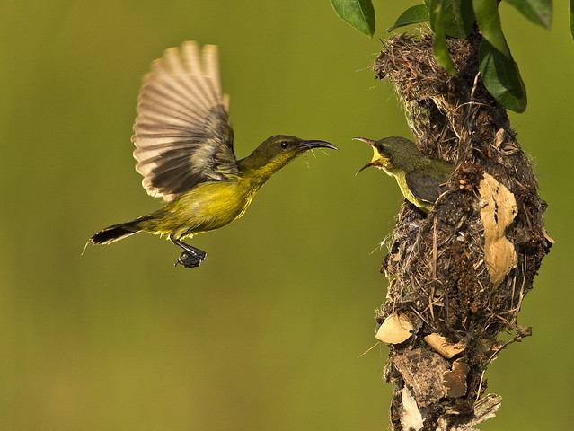 Olive Backed Sunbird - Female