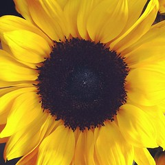 asterales, annual plant, sunflower, flower, yellow, plant, macro photography, petal,