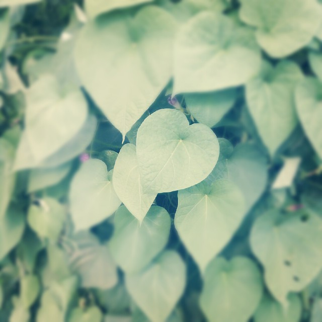 heart leaves!